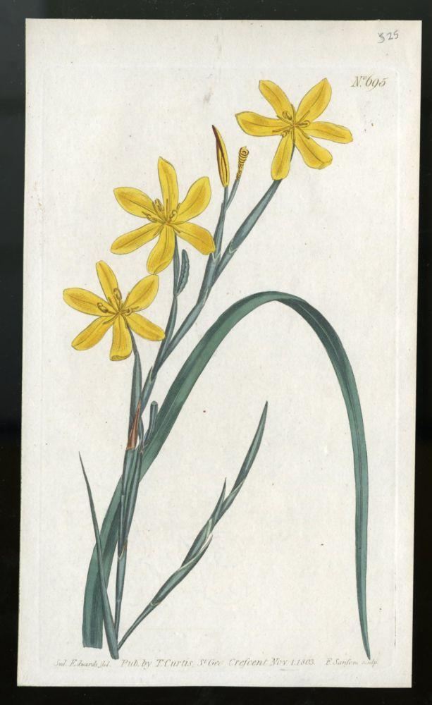 Moraea Flexuosa plate no. 695 [from Curtis's Botanical Magazine]. Curtis William.