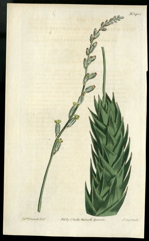 Aloe Plate no. 1455 [from Curtis's Botanical Magazine]. Curtis William.