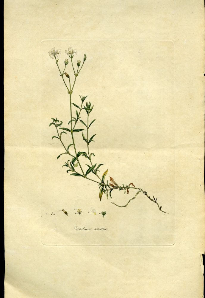 Cerastium Arvense, Corn Cerastium or Mouse-Ear Chickweed [from Flora Londinensis, 1789-1798]. Curtis William.