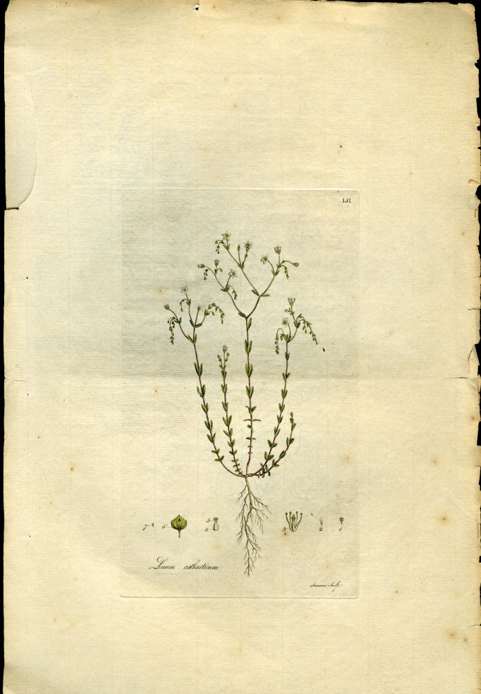 Linum Catharticum, Purging Flax [from Flora Londinensis, 1789-1798]. Curtis William.