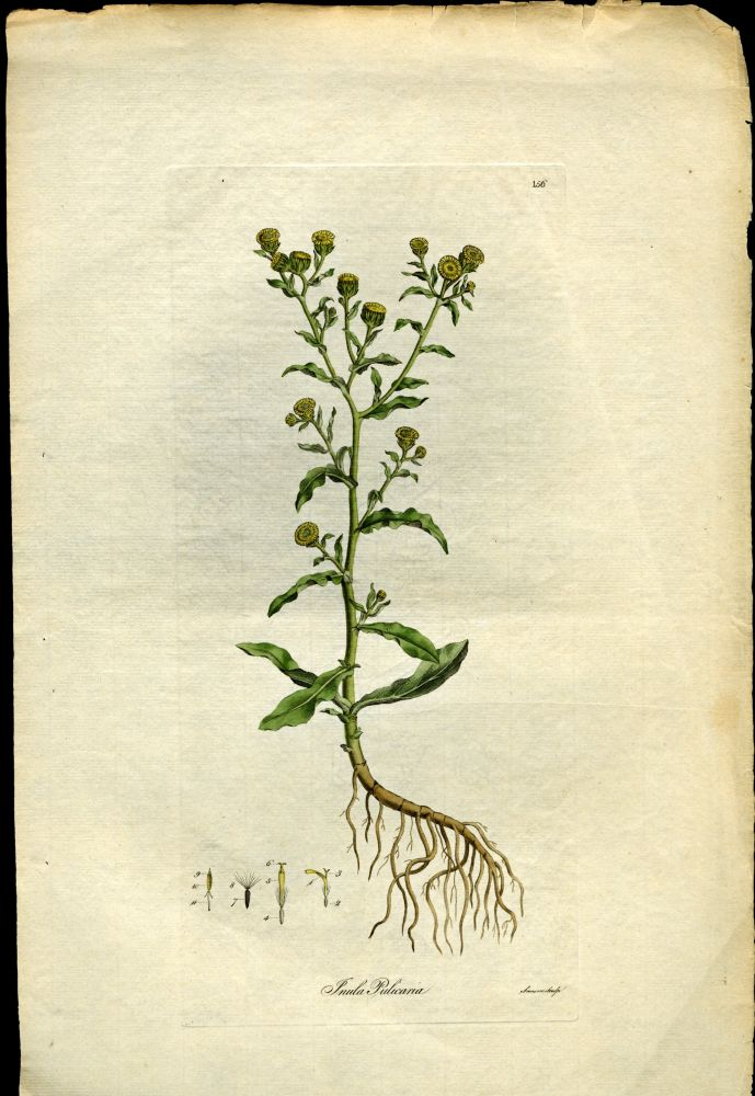 Inula Pulicaria. Small Fleabane [from Flora Londinensis, 1789-1798]. Curtis William.