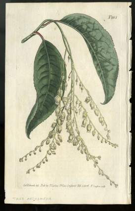 Tree Andromeda plate no. 905 [from Curtis's Botanical Magazine]. Curtis William