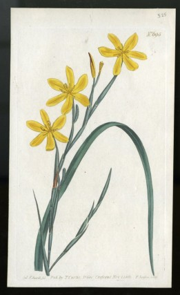 Moraea Flexuosa plate no. 695 [from Curtis's Botanical Magazine]. Curtis William