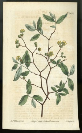 Pondspice Plate no. 1471 [from Curtis's Botanical Magazine]. Curtis William