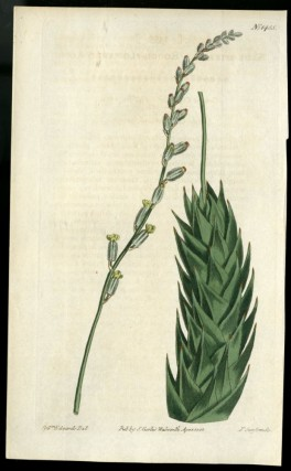 Aloe Plate no. 1455 [from Curtis's Botanical Magazine]. Curtis William
