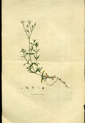 Cerastium Arvense, Corn Cerastium or Mouse-Ear Chickweed [from Flora Londinensis, 1789-1798]....